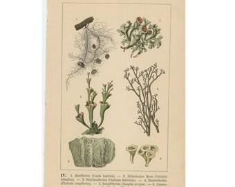 1888 MOSS LICHEN LITHOGRAPG saprobic fungus original antique botanical print