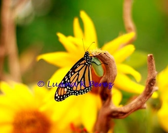 Butterfly Monarch holding Chrysalis and Sunflowers