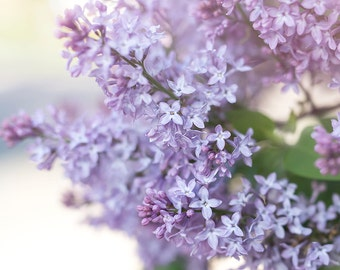 spring lilacs photo-flower photography - flower photo- cottage garden photography (5 x 7 Original fine art photography prints) FREE Shipping