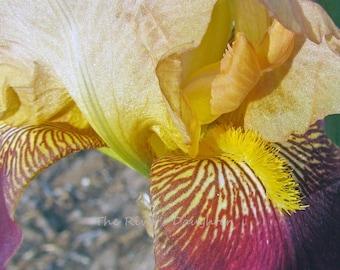 Yellow Iris, Flower Photography, 5x7 Matted Photograph, Digital Enhanced Art, Flower Decor, Digital Art
