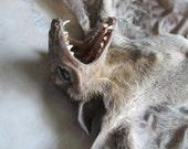 "15.5"" Sphinx Bat Specimen - SHIP FREE"