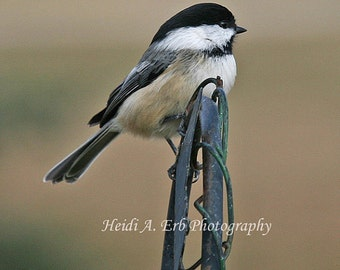 Blank note card, photo note card, Bird note card, photography, print, nature, wildlife, greeting card, Chickadee, photography print, card