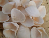 Mini White Clam Shells with Hints of Peach & Pink Coastal Shell Supplies Crafts, displays, Jewelry making, candle craft, weddings, seashell