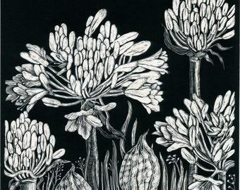 Original Scraperboard Artwork of Agapanthus Lilies