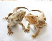 65% OFF Lizard Photography - Reptile and Lizard Art - Bearded Dragon - Bearded Besties - 8x10 Fine Art Photo