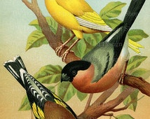 Vintage Printable Bird Art European Goldfinch Norwich Canary European Bullfinch Illustration Digital Download JPG