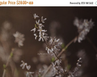 Christmas in July White Forsythia Fine Art Photography Brown Warm Tones Nature Shabby Chic Floral Flower Bloom Blossom Spring Cottage Home D