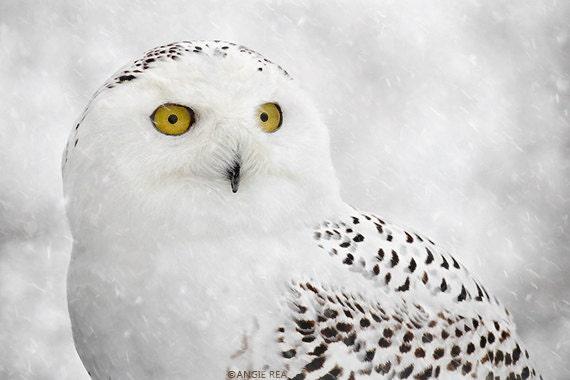 Snowy Owl Fine Art Bird Photography Home Decor Art Print