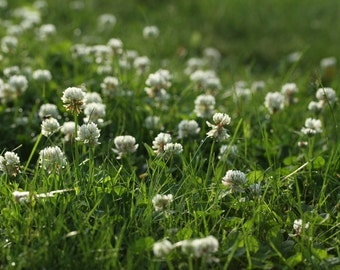 White Clover Seeds - 1,000 Seeds