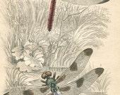 SALE Antique Dragonfly Print,  Jardine, Hand Colored,Steel Engraved, 1800's Book Plate,Antique Print,Jardine,Insect,Entomology,Vintage