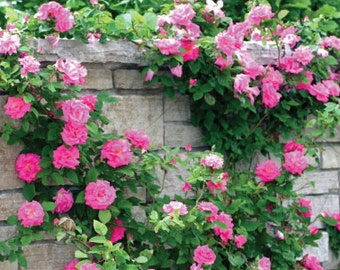 Climbing bright pink roses,385, bright pink rose,roses seeds,planting roses,growing roses from seeds