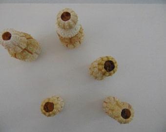 20 pcs sputkin sea urchins,Summer collection, a real sea treasure.