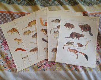 5x Full Colour Plates - Rodents