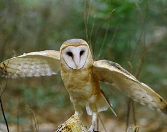 Barn Owl Taking Off, Fine Art Photo