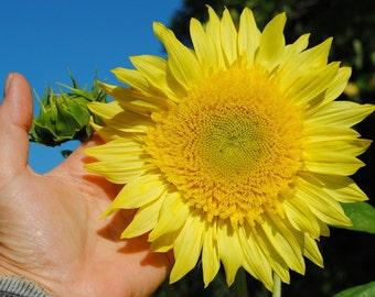 "STARBURST GREEN Aura Sunflower Seeds / Very ""Un-Sunflower"" Like in a GOOD Way - Looks Like a Dahlia! / Branching Variety / Grows All Summer"