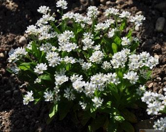 White Forget Me Not (Myosotis Alpestris) easy to grow from flower seeds.