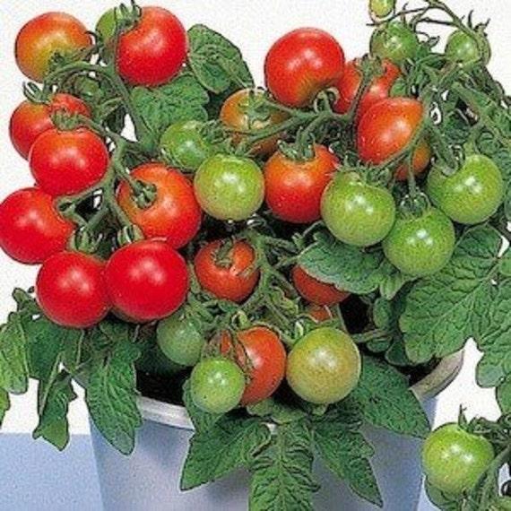 Patio Tomato Seed F1 Hybrid Patio Growing Space Saver