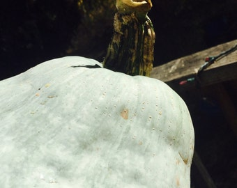Blue Hubbard Squash HEIRLOOM 15 seeds
