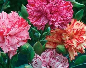 50+ Chabaud Mix Carnation Flower Seeds