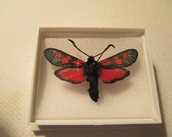A Five spot burnet moth z.t decreta.