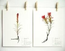 Botanical Print Set of Red Colorado Wildflowers Indian Paintbrush (Castilleja), Prints of Original Pressed Herbarium Specimen Art, 174 175