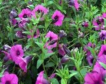 Petunias- Wild Violacea- 100 seeds each pack