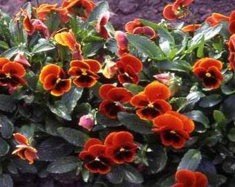 Viola-  Arkwright Ruby-,  50 seeds each pack
