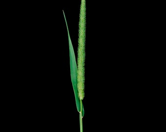 Fine Art Photograph of grass on black background