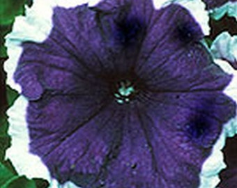 Petunia Frost Blue * Blue/White  25 Seeds