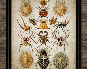 Haeckel Arachnida Spider Print - Haeckel Illustration - Biology - Digital Art - Printable Art - Single Print #264 - INSTANT DOWNLOAD