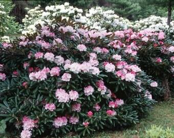 10 Seeds Rhododendron yakushimanum