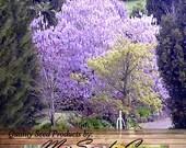 200 x Paulownia fortunei Tree Seeds, aka Dragon Tree, Fortunes Empress Tree, Sapphire Tree, Phoenix Tree, Heat & Shade Tolerant