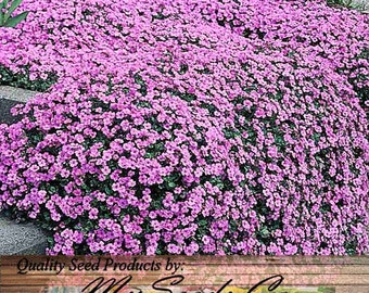 ALYSSUM ROYAL CARPET Flower Seeds - Fragrant Lobularia maritima ~ Attracts Honey Bees, Birds, Butterflies - Zones 3 And Up