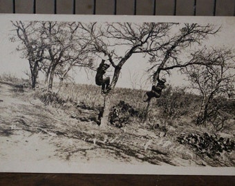 RPPC Real Photo Postcard Tree Climbers Above the Cactus AZO 1904-1918 Unused
