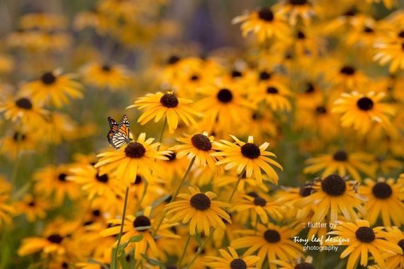 Butterfly and Black Eyed Susan Floral Original Photograph