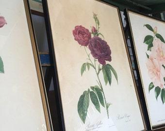 Vintage Framed Botanical Print (Rosa Gallica)