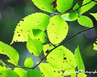 Elm Leaves (Trees) (Leaves) (Sunny) (Shining Through) (Green Leaves)
