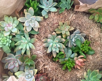 """DIY Kit 14"""" Succulent Wreath Frame with cuttings & tools"""