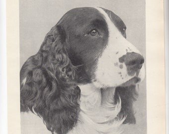 "A Canine Beauty Springer Spaniel Portrait/1937 British Print/ 8"" X 10.5"""