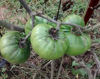 Stump of the World Heirloom Tomato Seeds, Slicing Tomato Seeds, Potato Leaf Tomato Seeds