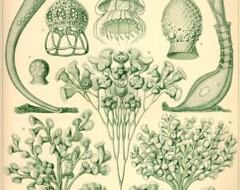 Science Illustration, Sea Algae, Algae Science, Science Algae, Algae Illustration, Algae Sea, Sea Science, Sea Illustration, Ernst Haeckel