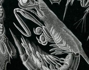 Ernst Haeckel, Ernst Haeckel Art, Ernst Art, Crawfish Art, Haeckel Ernst, Art Ernst, Haeckel Art, Crawfish Print, Educational Art, Drawing