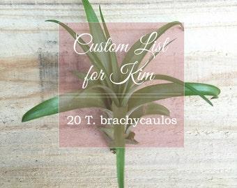 Custom List for Kim - 20 Tillandsia brachycaulos