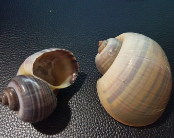 2 Apple Snail Shells, Hermit Crab Shells