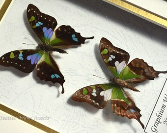 Set Of Purple Spot Swallowtail Graphium Weiskei In Quality Shadowbox