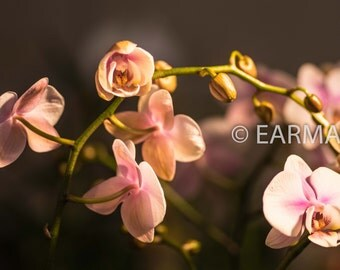 Delicate Pink Orchids, Wall Art, Flower Photography, Elegant, Asian, Macro Photography, Nature