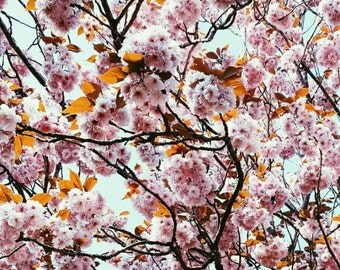 Cherry blossom, Norfolk, print, affordable art, fine art photography