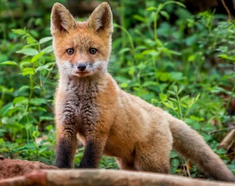 Digital Download: Red Fox Kit photo