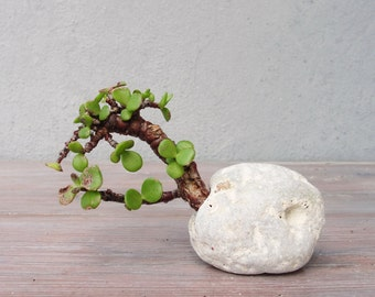 Succulent Plant Pot, Natural Rock Cacti Planter, Terrarium Stone, Stone Planter, Hag Stone, Holy Stone, Nautical Beach Home Decor