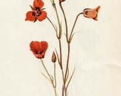 PRINT SALE 20% OFF Vintage 1953 Red Mariposa Flower Botanical, Floral Print for Framing, American Wildflower